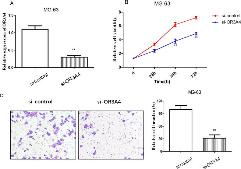 Downregulation of OR3A4 inhibited the proliferation and invasion of osteosarcoma cells. (A) qRT-PCR was used to detect the expression of OR3A4 in the MG-63 cell line transfected with si-OR3A4. (B) MTT assay was performed to analyse the effect of OR3A4 on MG-63 cell proliferation. (C) Transwell assay was conducted to determine the effect of OR3A4 on MG-63 cell invasion ** p