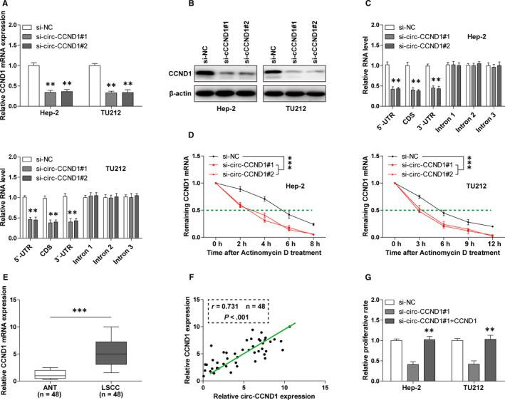 circ‐CCND1 regulates the stability of CCND1 mRNA. A, B, The mRNA expression and protein expression of CCND1 in control and circ‐CCND1‐silenced Hep‐2 and TU212 cells were detected by qRT‐PCR and Western blot assays, respectively. C, qRT‐PCR analysis for the different part of CCND1 mRNA in control and circ‐CCND1‐silenced Hep‐2 and TU212 cells. D, qRT‐PCR analysis for CCND1 mRNA expression in control and circ‐CCND1‐silenced Hep‐2 and TU212 cells at the indicated time after treatment with 1 mg/mL actinomycin D. E, qRT‐PCR analysis for CCND1 mRNA expression in 48 matched LSCC and normal tissues. F, The correlation between circ‐CCND1 and CCND1 mRNA expression in 48 LSCC tissues. G, The proliferative capabilities of circ‐CCND1‐silenced Hep‐2 and TU212 cells after transfection with CCND1 expression plasmid. ** P