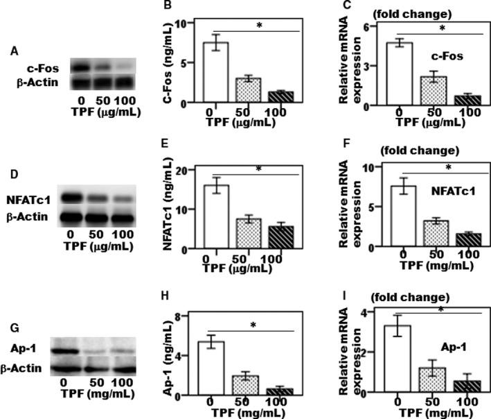 The effect of TPF on LPS‐induced osteoclast‐specific transcription factors. (A, B) c‐Fos protein synthesis, (C) expression of c‐Fos gene, (D, E) NFATc1 protein synthesis, (F) expression of NFATc1 gene, (G, H) Ap‐1 protein synthesis and (I) expression of AP‐1 gene. The data were represented as mean ± SD (n = 5) of 5 independent experiments. * P