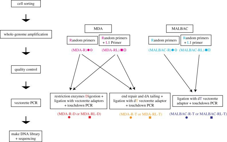Overview of single-cell TIPseq workflows. The single-cell TIPseq procedure consists of five steps: cell sorting, WGA, a quality control check, vectorette PCR for L1Hs insertion site amplification and next-generation sequencing. Pink, MDA WGA with or without L1 primer (MDA); light blue, MALBAC WGA with or without L1 primer (MALBAC); red, MDA WGA followed by restriction enzyme digestion and ligation with vectorette adaptors (MDA-D); orange, MDA WGA followed by end repair, dA tailing and ligation with dT vectorette adaptor (MDA-T); dark blue, MALBAC WGA followed by ligation with dT vectorette adaptor (MALBAC-T). Circles represent WGA using random hexamers only (R); squares represent WGA using random hexamers and the L1 primer (RL).