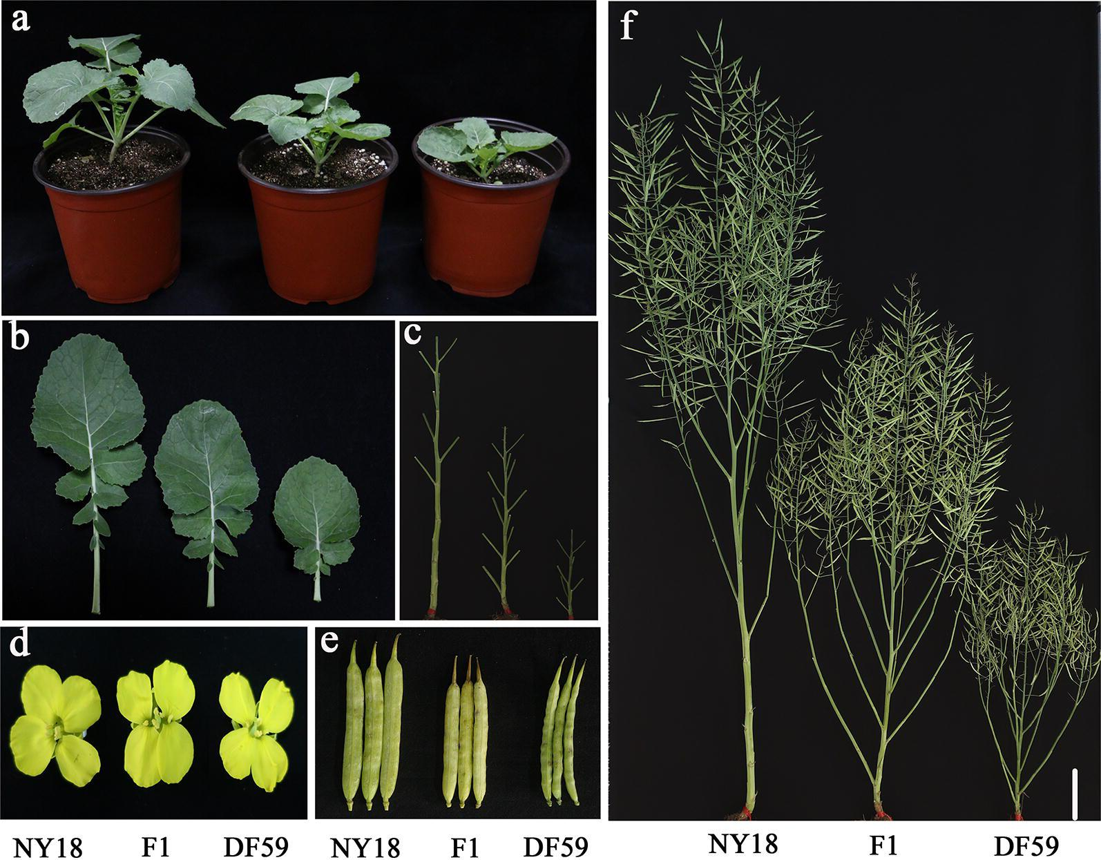 Phenotypic characterization of NY18, df59 , and their F 1 at different developmental stages. a Morphology of the NY18, df59 and their F 1 at the seedling stage; b comparison of leaf phenotypes at the seedling stage; c comparison of internode lengths at the mature stage; d comparison of petal phenotypes at the flowering stage; e comparison of silique-related traits at the mature stage; f comparison of plant heights and plant architecture at the mature stage. Scale bars = 10 cm