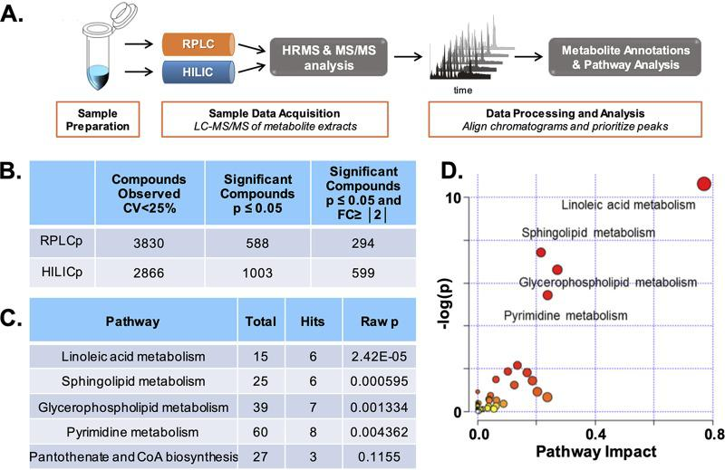 Workflow and pathway analysis using global, untargeted metabolomics data analysis. (A) Overview of global, untargeted metabolomic workflow. (B) Global output of identified metabolites from <t>RPLC</t> and <t>HILIC</t> methods and subsequent filtering for significance according to a P value of ≤0.05 and fold change of ≥|2|. (C) Table output of metabolic pathway enrichment analysis. The number of total metabolites in the pathway, the number of hits, and the P value were calculated using MetaboAnalyst 4.0. CoA, coenzyme A. (D) Metabolomic pathway analysis visualization. Shown is a graphical representation analysis using the statistically significant metabolite compounds ( P ≤ 0.05; fold change, ≥|2|) annotated from RPLC and HILIC analyses. Matched pathways were arranged by P values (from pathway enrichment analysis) on the y axis, and pathway impact values (from pathway topology analysis) are shown on the x axis; node color is based on pathway P value, and node radius is determined based on pathway impact values; individual nodes represent individual pathways.