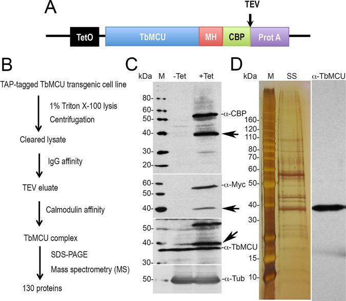 Tandem affinity purification (TAP) and proteomic analysis of TbMCU complex. (A) Diagram showing positions of tags. <t>TEV,</t> tobacco etch virus protease cleavage site; MH, Myc-His; CBP, calmodulin-binding peptide; Prot A, protein A domain. (B) Scheme of the TAP method used for isolation of TAP-tagged TbMCU complex. (C) Western blot analyses of tetracycline-inducible TAP-tagged TbMCU-TAP overexpressed in PCF trypanosomes against the CBP, MYC, and TbMCU antibodies. One additional band at approximately 40 kDa was detected, possibly because of degradation of the TAP-tagged TbMCU protein (arrows) by the <t>AcTEV</t> protease or an alternative translation termination at the TEV cleavage site. When anti-TbMCU antibody was used, both the TAP-tagged protein and the endogenous copy were detected. The blot was stripped and reincubated with antitubulin (α-Tub) antibody as a loading control. (D) SDS-PAGE of purified TbMCU complex (left, silver stained [SS]; right, immunoblotted with anti-TbMCU). M, PageRuler unstained protein ladder.
