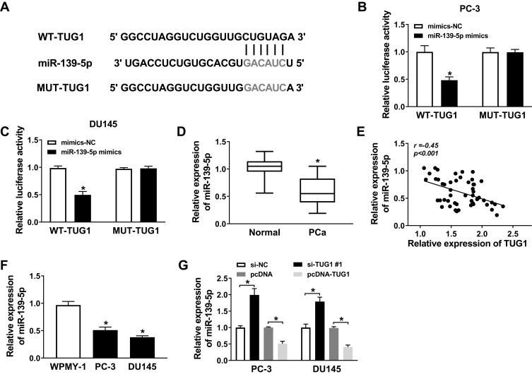 The expression of miR-139-5p was downregulated and negatively correlated with TUG1 in PCa samples and cell lines. ( A ) The presumed binding sites of miR-139-5p with TUG1 were predicted. ( B and C ) The luciferase activity in PC-3 and DU145 cells co-transfected with miR-139-5p mimics or mimics-NC and TUG1-WT or TUG1-MUT. ( D ) The expression of miR-139-5p was detected by qRT-PCR in PCa tissue samples. ( E ) The expression of miR-139-5p was negatively correlated with TUG1 in PCa samples by qRT-PCR. ( F ) The expression of miR-139-5p was detected by qRT-PCR. ( G ) The expression of miR-139-5p in PC-3 and DU145 cells transfected with si-NC, si-TUG1#1, pcDNA and pcDNA-TUG1 was measured by qRT-PCR. * P
