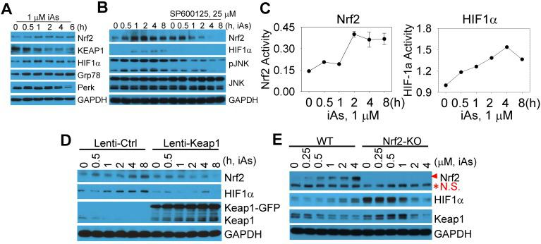 Activation of Nrf2 and Nrf2-dependent HIF1α expression in the cells treated by iAs. A. Time-dependent activation of Nrf2 and HIF1α. B. Involvement of JNK in iAs-induced Nrf2 as well as HIF1α. C. Luciferase reporter gene activities of Nrf2 and HIF1α in the cells treated with 1 μM iAs for the indicated times. D. Lentiviral transfection of Keap1 inhibited iAs-induced Nrf2 activation and HIF1α expression. E. Knockout of Nrf2 by CRISPR-Cas9 gene editing prevented HIF1α induction by iAs. Red asterisk denotes the non-specific (N.S.) band.