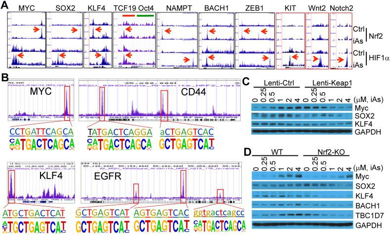 iAs induces expression of a number of stemness genes through Nrf2 and/or HIF1α activation. A. Enrichment status of Nrf2 and HIF1α (pointed by red arrows) induced by iAs on these indicated stemness genes as determined by ChIP-seq. B. De novo and/or known Nrf2 motif(s) induced by iAs on the promoter or gene body of MYC, CD44, KLF4, and EGFR that had been linked to the stemness of CSCs. C. Nrf2 inhibition by lentiviral Keap1 transfection prevented induction of MYC and SOX2 by iAs. This Nrf2 inhibition also reduced KLF4 expression. D. Nrf2 knockout blocked iAs-induced expression of MYC, SOX2, BACH1, TBC1D7, and decreased expression of KLF4.