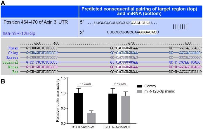 The targeting relationship between Axin1 and miR-128-3p. ( A ) The binding sites between miR-128-3p and Axin1 3'UTR predicted by Targetscan ( http://www.targetscan.org/vert_71/ ). ( B ) The targeting relationship between miR-128-3p and Axin1 verified using dual-luciferase reporter gene assay. In the X-axis, 3'UTR- Axin1 -WT refers to Axin1 wild type 3'UTR and 3'UTR- Axin1 -MUT refers to Axin1 mutant 3'UTR. * p