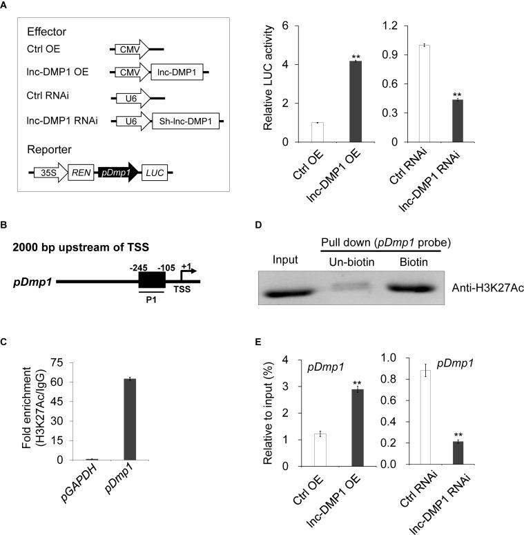 lnc-DMP1 induces the promoter activity by modulating the H3K27Ac enrichment of the Dmp1 promoter region in MC3T3-E1 cells. (A) Luciferase (LUC) reporter assay: the Dmp1 promoter region [2000 bp before transcription start site (TSS)] was cloned upstream of the firefly luciferase coding region. Their luciferase activities were tested in MC3T3-E1 co-transfected with CMV:Lnc-DMP1 (lnc-DMP1 OE), U6:sh-lnc-DMP1 (lnc-DMP1 RNAi) or empty vectors (Ctrl OE and Ctrl RNAi). The empty vector control was set to a value of 1. (B) Schematic of the potential H3K27Ac binding region in the promoter sequence of Dmp1 . The numbers indicated the nucleotide positions relative to their transcription start site (TSS), which was shown as + 1. (C) qRT-PCR detection of the indicated DNAs retrieved by H3K27Ac-specific antibody compared with immunoglobulin G (IgG) in the CHIP assay within MC3T3-E1. (D) DNA pull down experiment with MC3T3-E1 extract. Specific bands were identified by immunoblotting H3K27Ac. (E) The alteration of the enrichment of H3K27Ac in the promoter region of Dmp1 in lnc-DMP1 OE and RNAi cells. ** P