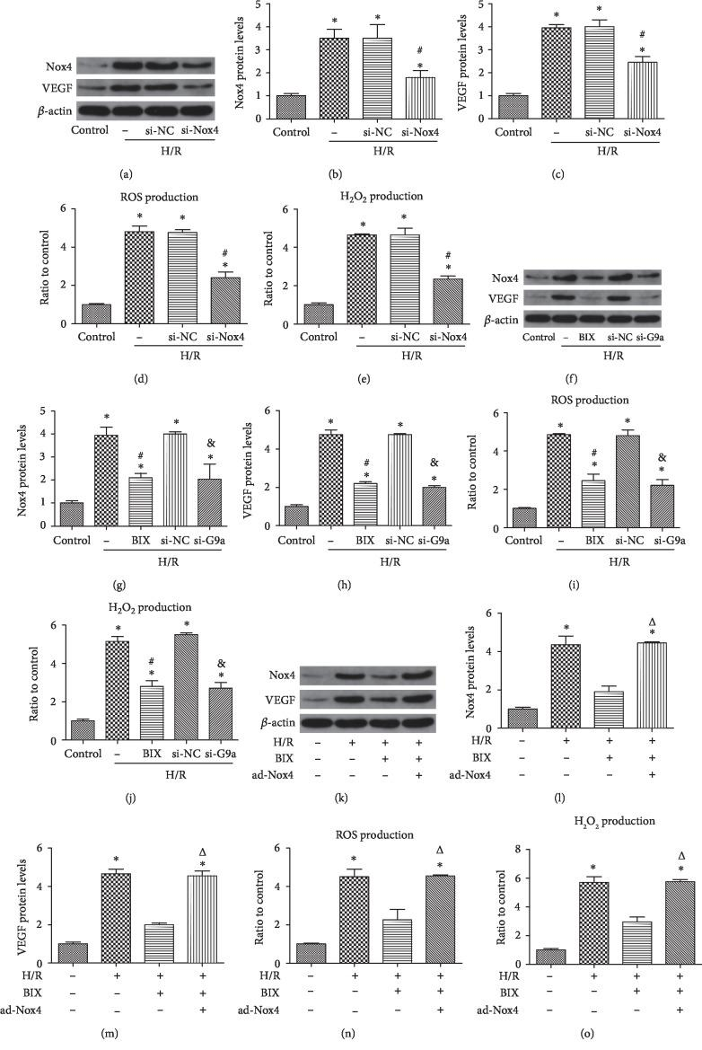 Inhibition of G9a alleviated angiogenesis and oxidative stress through reduction of Nox4. Western blotting analysis for the expression of Nox4 and VEGF after transfection with an si-Nox4 (a-c). ROS production was measured after transfection with an si-Nox4 (d). H 2 O 2 production was measured after transfection with an si-Nox4 (e). The expression of Nox4 and VEGF was evaluated through western blot after treatment with BIX (10 μ M, application 2 h prior to H/R) or transfection with siRNA against G9a (f-h). ROS production was measured after treatment with BIX or transfection with siRNA against G9a (i). H 2 O 2 production was measured after transfection with an si-G9a (j). HUVECs were treated with 10 μ M BIX for 2 h and then infected with an adenovirus carrying the human Nox4 for 48 h, prior to exposure to the H/R process. Western blotting analysis for the expression of Nox4 and VEGF in different groups (k-m). (l,m) The production of ROS (n) and H 2 O 2 (o) was measured in different groups. Data are expressed as means ± SD ( n = 5). ∗ P