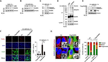 H 2 O 2 destabilizes DUSP6 via ubiquitin-mediated degradation, and overexpression of DUSP6 protects cells against oxidative stress. ( A and B ) H 2 O 2 treatment decreased the levels of endogenous DUSP6 proteins in a dose- and time-dependent manner. Lysates from HeLa cells treated with H 2 O 2 at different concentrations for 1 hour (A) and at 0.5 mM for different times (B) as indicated were analyzed by immunoblotting (IB) using an anti-DUSP6 antibody. β-Actin was used as the loading control. ( C and D ) H 2 O 2 treatment increased caspase-3 cleavage (C) and DUSP6 ubiquitination (D). Lysates from HeLa cells untreated or treated with 0.5 mM H 2 O 2 for 1 hour were subjected to IB with anti-cleaved caspase-3 and anti-DUSP6 antibodies (C) or they were subjected to immunoprecipitation (IP) with the DUSP6 antibody [or control immunoglobulin G (IgG)] before being used for IB with anti-Ubiquitin and anti-DUSP6 antibodies (D). β-Actin was used as the loading control. ( E to G ) Overexpression of DUSP6 suppressed oxidation-induced increases in caspase-3 cleavage (E), apoptosis (F), and mitochondrial fragmentation (G). HeLa cells transiently transfected with either an empty control vector (−) or a vector encoding Flag-DUSP6 (+) were untreated or treated with 0.5 mM H 2 O 2 for 1 hour at 24 hours after transfection. In (E), cell lysates were subjected to IB with the indicated antibodies. In (A) to (E), blots are representatives of at least three independent experiments. In (F), cells were fixed for TUNEL staining (red) to identify apoptotic cells and immunofluorescence (IF) labeling of Flag (green) to assess Flag-DUSP6 expression. 4′,6-diamidino-2-phenylindole (DAPI) (blue) was used for counterstaining of nuclei. Scale bar, 100 μm. Representative confocal images are shown. Quantification of TUNEL-positive (TUNEL + ) cells is shown at the right. In (G), after the H 2 O 2 treatment, cells were incubated with MitoTracker Red (200 nM) for 50 min at 37°C before fixation, IF for Flag