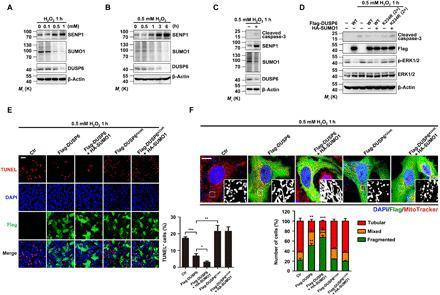 Increasing DUSP6 SUMOylation suppresses oxidation-induced mitochondrial fragmentation and cell apoptosis. ( A and B ) H 2 O 2 treatment increased SENP1 levels in a concentration- and time-dependent manner. Lysates from untransfected HeLa cells treated with H 2 O 2 at different concentrations for 1 hour (A) and at 0.5 mM for different time periods (B) as indicated were analyzed by IB for levels of SENP1, SUMO1, and DUSP6, with β-actin used as the loading control. Note that the increases in SENP1 were accompanied with decreases in overall protein SUMOylation and endogenous DUSP6 levels. ( C ) H 2 O 2 -induced increase in caspase-3 cleavage is accompanied with an increase in SENP1 expression. Lysates from untransfected HeLa cells untreated or treated with 0.5 mM H 2 O 2 for 1 hour were analyzed as in (A) and (B), with an additional analysis for cleaved caspase-3. ( D ) Overexpression of DUSP6 suppressed H 2 O 2 -induced caspase-3 cleavage in a SUMOylation-dependent manner. HeLa cells transiently cotransfected with an empty vector (−), a vector encoding Flag-DUSP6 (wild type) or the Flag-DUSP6 K234R mutant, and HA-SUMO1 as indicated were untreated or treated with 0.5 mM H 2 O 2 for 1 hour beginning at 24 hours after transfection. Cell lysates were analyzed by IB for levels of cleaved caspase-3, Flag-DUSP6, p-ERK1/2, and ERK1/2, with β-actin used as the loading control. The overexpression of Flag-DUSP6 decreased H 2 O 2 -induced caspase-3 cleavage and the p-ERK1/2 levels, both of which were further suppressed by HA-SUMO1; however, Flag-DUSP6 K234R did not have these effects. In (A) to (D), blots are representatives of at least three independent experiments. ( E and F ) Overexpression of DUSP6 attenuated H 2 O 2 -induced cell apoptosis (E) and mitochondrial fragmentation (F) in a SUMOylation-dependent manner. H 2 O 2 -treated cells as described in (D) were either fixed and then stained for IF labeling of Flag for Flag-DUSP6 expression (green) and cell apoptosis (red) by T