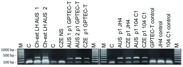 Detection of GPAdV DNA in infected tissues and cell cultures. Total DNA was extracted from GP lung homogenate, nasal scrapings or cell culture aliquots with Qiagen DNA micro kit (QIAGEN, Valencia, CA) and used as a template for PCR amplification of a portion of the hexon gene using the primers and protocol developed by Pring-Akerblom et al. (1997) . Ch-Ext. LH : chloroform-extracted lung homogenate supernatant; AUS 1 and AUS 2 : designations for two different Australian lung tissue samples; CZE NS : nasal scraping suspension from GPs experimentally infected with Czech Republic strain; C : negative control; M . EZ Load™ 100 bp Molecular Ruler (Bio-Rad, Hercules, CA); p1 : first passage in culture from original sample.