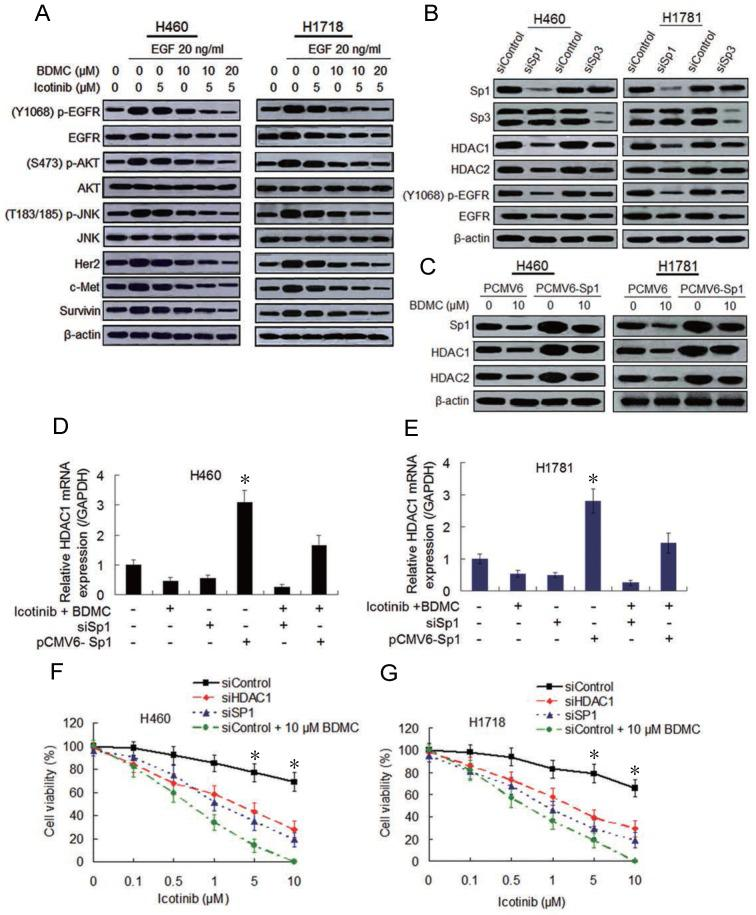 Combination of icotinib and BDMC suppresses EGFR activity by downregulating expressions of SP1 and HDAC1/HDAC2. ( A ) H460 and H1781 cells were pre-treated with icotinib and/or BDMC at the doses indicated for 6 h, and then stimulated with EGF at indicated dose for 1 h. Then cell lysates were prepared and subjected to immunoblot assay to detect the protein expressions as indicated. ( B ) Expressions of Sp1/Sp3 and other indicated proteins in control and SP1or SP3 knocked down cells were detected by immunoblot assay in H460 and H1781 cells. ( C ) H460 and H1781 cells were transfected with Sp1 plasmids (PCMV6-Sp1) and control plasmids DNA (PCMV6). After 8 h, cells were treated with BDMC at indicated doses for an additional 48 h. Then the expressions of Sp1 and HDAC1/HDAC2 proteins were detected by immunoblot assay. ( D and E ) Before and after transfection with or without siSp1 or PCMV6-Sp1, H460 and H1781 cells were treated with icotinib (5 µM) plus BDMC (10 µM) for 48 h, and HDCA1 mRNA expression was analyzed by real-time quantitative-PCR, as described in Materials and Methods. * P