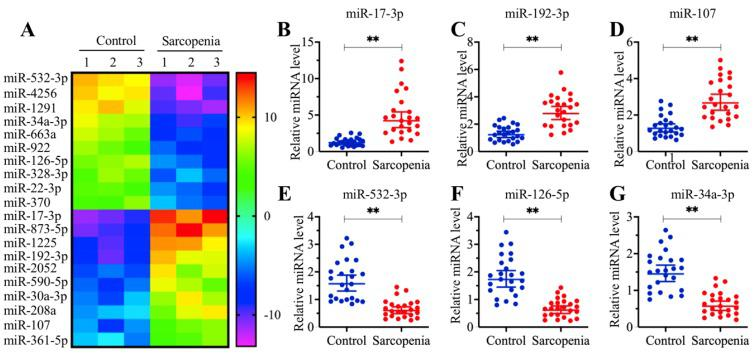 The expression of miR-532-3p was significantly decreased in sarcopenia patients. (A) The heat map of 20 miRNAs that were differentially expressed in sarcopenia patient samples. Three-paired muscle tissues from healthy controls and sarcopenia patients were subjected to RNA isolation and subsequent microarray assays. The top 20 miRNAs that were aberrantly expressed were shown. (B-G) Verification of three upregulated and three downregulated miRNA levels by qRT-PCR. Twenty-four-paired muscle tissues from healthy controls and sarcopenia patients were used for qRT-PCR analyses to measure the relative expression levels of miR-17-3p (B) , miR-192-3p (C) , miR-107 (D) , miR-532-3p (E) , miR-126-5p (F) , and miR-34a-3p (G) . The expression of individual miRNAs in one healthy control sample was defined as one-fold. ** P