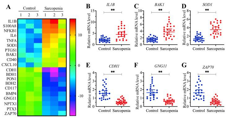 BAK1 was significantly increased in sarcopenia patients. (A) The heat map of 20 genes that were differentially expressed in sarcopenia patient samples. Three-paired muscle tissues from healthy controls and sarcopenia patients were subjected to RNA isolation and subsequent microarray assays. The top 20 genes that were aberrantly expressed were shown. (B-G) Verification of three upregulated and three downregulated gene levels by qRT-PCR. Twenty-four-paired muscle tissues from healthy controls and sarcopenia patients were used for qRT-PCR analyses to measure the relative expression levels of IL1B (B) , BAK1 (C) , SOD1 (D) , CDH1 (E) , GNG11 (F) , and ZAP70 (G) . The expression of individual genes in one healthy control sample was defined as one-fold. ** P