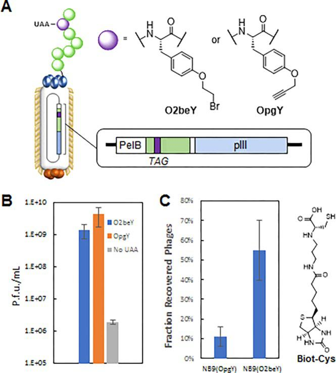 Display of O2beY-containing peptide on M13 phages. (A) Incorporation of cysteine-reactive O2beY and cysteine-unreactive OpgY into a linear nonapeptide (NB9) N-terminally fused to the M13 phage coat protein pIII. (B) Plaque forming units (p.f.u.) generated in the absence and presence of either noncanonical amino acid from E. coli cells expressing the polyspecific O2beY-RS synthetase, as determined by the phage titer assay. (C) Selective recovery of O2beY-displaying phages over OpgY-displaying ones using streptavidin-coated beads after phage exposure to biotin-conjugated cysteine reagent (Biot-Cys).