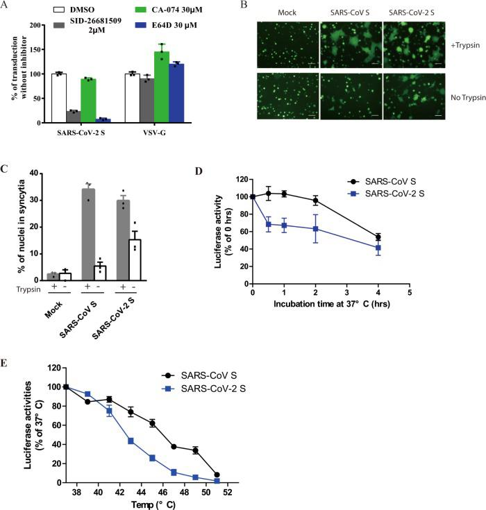 Activation of SARS-CoV-2 S protein by cathepsin and trypsin. a Effects of cathepsin inhibitors on entry of SARS-CoV-2 S pseudovirions on 293/hACE2 cells. HEK 293/hACE2 cells were pretreated with broad-spectrum cathepsin inhibitor E64D, cathepsin L-specific inhibitor (SID 26681509), or cathepsin B-specific inhibitor (CA-074) and then transduced with SARS-CoV-2 S and VSV-G pseudovirions. Pseudoviral transduction was measured at 40 h post inoculation. Experiments were done in triplicates and repeated at least three times. One representative is shown. Error bars indicate SEM of technical triplicates. b Cell–cell fusion mediated by SARS-CoV-2 S protein. HEK 293T cells were transiently expressing eGFP and either SARS-CoV-2 or SARS-CoV S protein were detached with either trypsin or EDTA, and co-cultured with 293/hACE2 or 293 cells for 4 h at 37 °C. The scale bar indicates 250 µm. c Quantitative analysis of syncytia in panel b . d , e Thermostability analysis of SARS-CoV-2 S protein. d SARS-CoV and SARS-CoV-2 S pseudovirons were incubated at 37 °C for the specified times (0 to 4 h) in the absence of serum, and then assayed on 293/hACE2 cells. The results from infection at 0 h were set as 100%, and the experiments were repeated four times, and means with standard deviations are shown. e SARS-CoV and SARS-CoV-2 S pseudovirions without serum were incubated at the indicated temperature (37 to 51 °C) for 2 h and then assayed on 293/hACE2 cells. The results are reported as the percentage of transduction at 37 °C. The experiments were repeated four times, and means with standard deviations are shown. Source data are provided as a Source Data file.