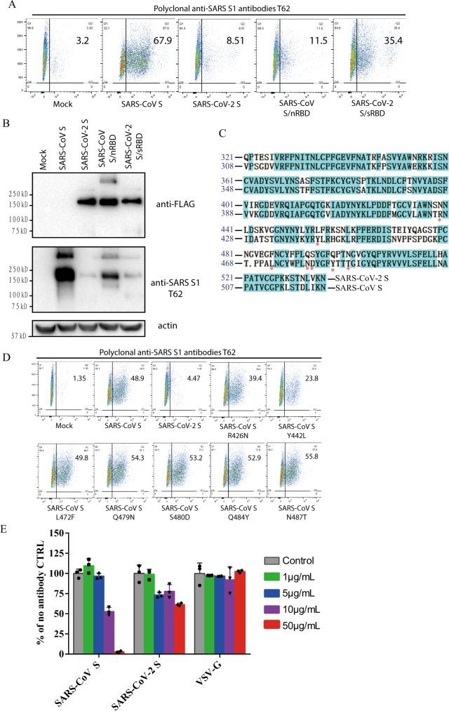 Characterization of polyclonal rabbit anti-SARS S1 antibodies T62. a Binding of polyclonal rabbit anti-SARS S1 antibodies T62 to SARS-CoV-2, SARS-CoV S, and chimeric S proteins. HEK293T cells transiently expressing either SARS-CoV-2 S, SARS-CoV S, SARS-CoV S/nRBD, or SARS-CoV-2 S/sRBD proteins were incubated with polyclonal rabbit anti-SARS-CoV S1 antibody T62 for 1 h on ice, followed by a FITC-conjugated secondary antibody, then cells were analyzed by flow cytometry. Experiments were done three times and one representative is shown. b Expression of SARS-CoV-2 S, SARS-CoV S, or chimeric S proteins on 293T cells. Cells from panel A were lyzed and blotted with anti-FLAG M2 antibody and polyclonal anti-SARS S1 antibody T62. c Amino acid sequence alignment of SARS-CoV and SARS-CoV-2 S RBDs. Stars (*) indicate the seven critical residues different between SARS-CoV-2 and SARS-CoV RBDs. d Binding of polyclonal rabbit anti-SARS S1 antibodies T62 to mutant SARS-CoV S proteins. e Neutralization of SARS-CoV-2 S and SARS-CoV S pseudovirions by polyclonal rabbit anti-SARS S1 antibody T62. Pseudovirons were pre-incubated with serially diluted polyclonal rabbit anti-SARS S1 antibodies T62 on ice, then virus-antibody mixture was added on 293/hACE2 cells. Pseudoviral transduction was measured 40 h later. Experiments were done in triplicates and repeated twice, and one representative is shown. Error bars indicate SEM of technical triplicates. Source data are provided as a Source Data file.