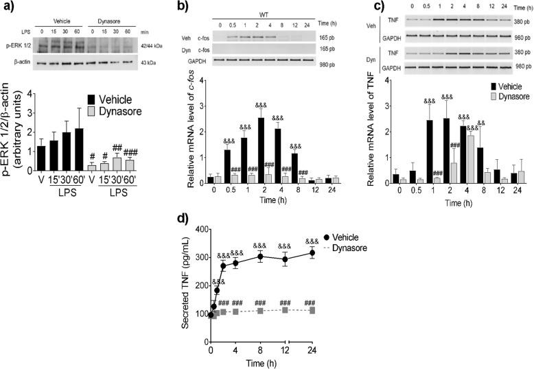 Dynamin activity mediates <t>TLR4-dependent</t> ERK 1/2 phosphorylation, c - fos and TNF mRNA accumulation and TNF secretion. WT BMMCs were pre-incubated with dynasore (80 μM) for 30 min before LPS addition (500 ng/mL). After stimulus, the cells were incubated at 37 °C for the indicated times and processed to obtain total protein or total RNA for RT-PCR. a ERK1/2 phosphorylation, b c - fos mRNA accumulation, c TNF mRNA synthesis, and d TNF secretion. Data are presented as the mean ± SD of 3–4 independent experiments. p