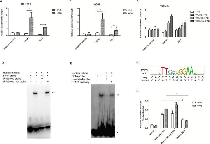 STAT1 binds to E2-3 with the treatment of IFNβ. (A) ChIP-qPCR using antibody against STAT1 in HEK293 cells treated with 1000 U/mL IFNβ or PBS for 4 h. The promoter of IFITM1 served as positive control. A locus near R fragment served as negative control. Statistical analyses were performed with unpaired Student's t -tests (* P