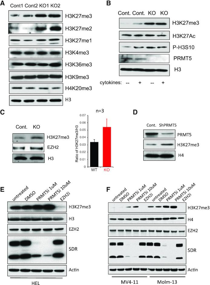 PRMT5 deletion or inhibition upregulates the global level of H3K27 tri-methylation in normal and malignant hematopoietic cells. ( A )Histones were purified using Histone Extraction Kit from BM cells isolated from two control and two  Mx1-Cre +  Prmt5 conditional KO mice 7 days post poly (I:C) injection. Mono-, di and tri-methylation on H3K27, as well as tri-methylation on H3K4, H3K9, H3K36 and H4K20 were determined by western blot. ( B )Lineage- and c-kit+ HSPC cells were isolated from BM of day 7control and  Prmt5 KO mice. Cells were stimulated with or without cytokine mixture of murine SCF (100 ng/ml), IL-3 (20ng/ml), IL-6 (20ng/ml) and FLT3 ligand (100 ng/ml) for 10 min at 37°C. The level of PRMT5, H3K27me3, H3K27ac, H3S10ph and total H3 were determined by western blot with whole cell lysate. ( C ) Lineage- FL cells isolated from E14.5  Prmt5 control and  Vav1-Cre + KO embryos were subject to Western blot and an Odyssey Image System to determine the level of histone H3, H3K27me3 and EZH2 protein. A representative Western blot is shown at left, and a bar graph showing the increase in H3K27me3/H3 ratio at right ( n  = 3). ( D )MV411 cells were transduced with lentiviruses expressing a scramble shRNA or shRNAs against PRMT5. Level of PRMT5 and H3K27me3 was shown with western blot, while H4 was used as a loading control. Leukemia cell lines HEL ( E ), MV411 and Molm13 ( F ) were treated with DMSO, PRMT5 Inhibitor 1or 10 µM or EZH2 Inhibitor 1 µM for 4 days. Level of H3K27me3, EZH2 and PRMT5 was determined by western blot; while H3, H4 or β-actin was used as loading controls. The efficiency of PRMT5 Inhibitor was confirmed by the reduced level of cellular symmetric di-methylated arginine (SDR).