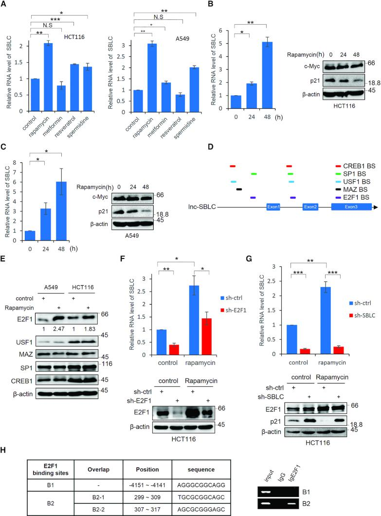 Rapamycin promotes SBLC transcription through effects on E2F1. ( A ) HCT116 and A549 cells were treated with rapamycin, metformin, resveratrol and spermidine (1 μM, 1 mM, 25 μM and 0.1 μM, respectively) for 24 h before measuring the SBLC levels by <t>qPCR.</t> ( B ) SBLC levels in HCT116 cells measured by qPCR (left) along with the levels of c-Myc and p21 by blotting (right) after addition of 1 μM rapamycin. β-actin was included throughout as a loading control. ( C ) The experiment in (B) was repeated using A549 cells. ( D ) Schematic of predicted TF binding sites for E2F1, USF-1, MAZ, SP1 and CREB in SBLC . ( E ) A549 and HCT116 cells were treated with 1 μM rapamycin and the levels of TFs in (D) were measured by western blot. Relative levels of E2F1 were estimated using densitometric analysis. ( F ) Rapamycin was added to HCT116 cells for 24 h in which E2F1 had been depleted by shRNA along with respective controls. SBLC levels measured by qPCR (top) along with E2F1 by blotting (bottom). ( G ) The experiment in (F) was repeated on HCT116 cells after treatment with sh-SBLC. ( H ) Localization of the three intergenic E2F1 binding sites in SBLC (left). ChIP using E2F1 or IgG control assessed by <t>RT-PCR</t> analysis against B1 and B2 regions (right). (A–H) Results are representative of three independent experiments. Values are mean ± SEM. NS, not significant, * P