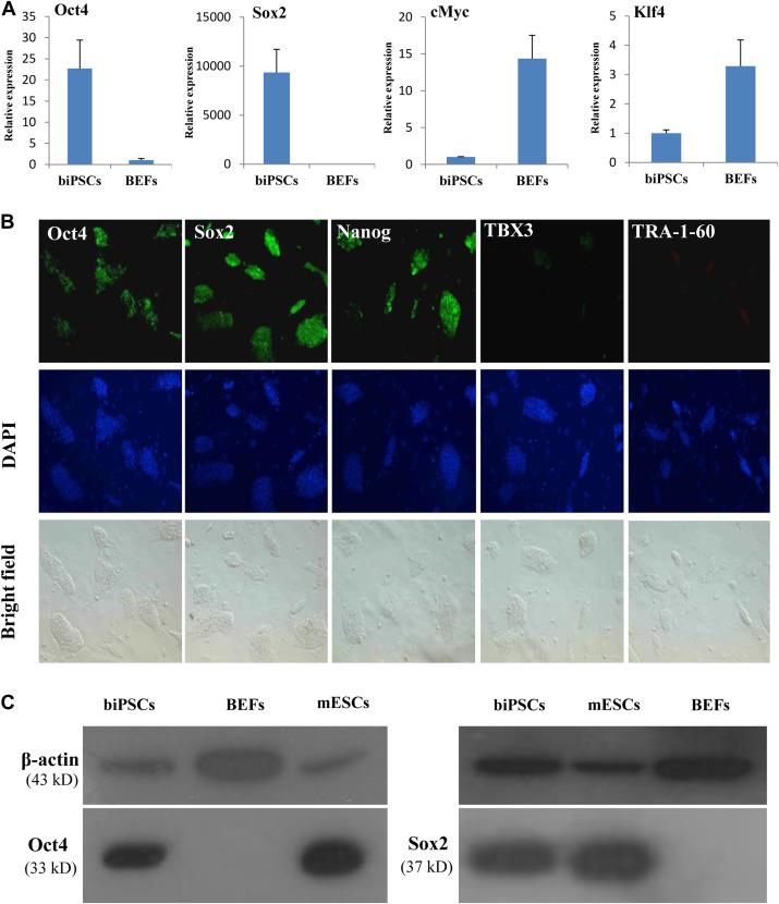 Expression of pluripotency factors in biPSCs. (A) Real-time PCR analysis of the relative RNA expression levels of pluripotency genes (Oct4, Sox2, cMyc, and Klf4) in biPSCs versus that in BEFs. Data were normalized to β-actin mRNA expression levels and error bars were calculated by standard deviation (SD), n = 3. (B) The immunofluorescence staining of pluripotency markers Oct4, Sox2, Nanog, TBX3, and TRA-1-60 of biPSC colonies are shown (fluorescence, upper; 4,6-diamidino-2-phenylindole, middle; bright field, bottom). (C) Western blot analysis of Oct4 and Sox2 proteins. BiPSCs protein expression levels of BEFs and mouse ESCs were used as negative and positive controls, respectively. β-Actin was used as the loading control. biPSC, bat-induced pluripotent stem cell; PCR, polymerase chain reaction; BEF, bat embryonic fibroblast; ESC, embryonic stem cell.