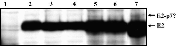 Immunoblot analysis of the cells transfected with the wild type and chimeric genomes or infected with the wild type and chimeric viruses. The same number of cells was used in the transfection and infection experiments. 150 μl of Laemmli buffer was added to each well of a <t>6-well</t> plate, and 12 μl of each sample was analyzed onto a 10% SDS-PAGE gel. The monoclonal antibody AP33 was used to detect the E2 protein, 1: mock-transfected cells, 2: JFH1-transfected cells, 3: Pp7-transfected cells, 4: Fp7-transfected cells, 5: JFH1 infected cells, 6: Pp7 infected cells, 7: Fp7 infected cells.