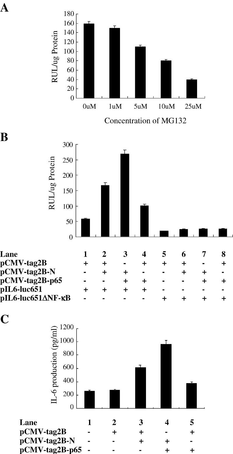 Determination of the role of NF-κB in the expression of IL-6 regulated by N protein. (A) A549 cells were co-transfected with pCMV-Tag2B-N and pIL6-luc-651 followed by the treatment with MG-132 at different concentrations as indicated for 24h. Treated cells were then lysed and luciferase activity was measured. (B) A549 cells were co-transfected with pIL6-luc-651 (lanes 1–4) or pIL6-luc-651ΔNF-κB (lanes 5, 6, 7, and 8), pCMV-Tag2B-N (lanes 2, 3, 6, and 7) or pCMV-Tag2B (lanes 1, 2, 4–6, and 8), and pCMV-Tag2B-p65 (lanes 3, 4, 7, and 8), respectively. Transfected cells were then lysed and luciferase activity was measured. (C) A549 cells were transfected with pCMV-Tag2B (lanes 2 and 3), or pCMV-Tag2B-N (lanes 3 and 4), or pCMV-Tag2B-p65 (lanes 4 and 5). Transfected cells were lysed and the levels of IL-6 protein produced were then measured by ELISA using anti-IL-6 antibody. The results were expressed as mean + S.D. of three independent experiments.