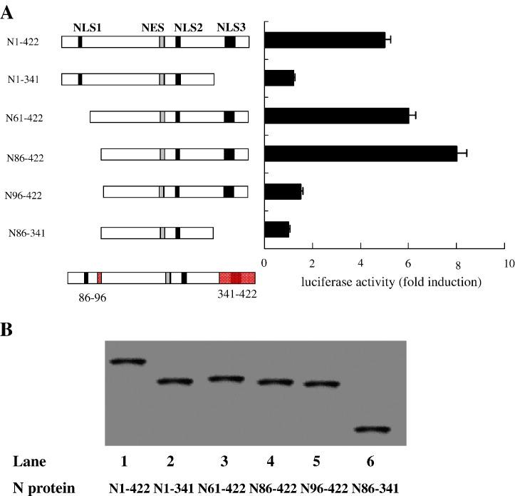 Functional analysis of deletion mutants of SARS-CoV N protein. (A) Diagram of N protein mutants (left panel) and functional analyses of mutant proteins (right panel). A549 cells were co-transfected with the reporter plasmid pIL6-luc-651 along with plasmid pCMV-Tag2B-N or plasmid containing individual mutant N gene. The effects of each N protein on the activation of IL-6 promoter were determined by measuring luciferase activities of transfected cells. Values correspond to an average of at least three independent experiments. (B) The status of N protein and its mutants expressed in the transfected A549 cells were determined by western bolt using anti-N protein antibodies.