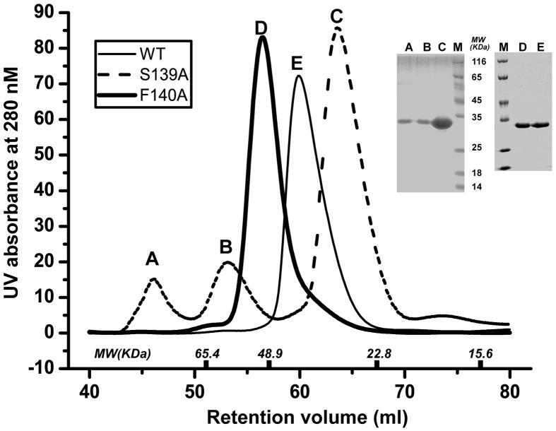 Gel filtration analysis of SARS-CoV 3CL pro S139A mutant. 2 mg/ml of the protein at neutral pH (7.5) was eluted on a HiLoad ™ Superdex ™ 75 prep grade column (GE Healthcare) at a flow rate of 1 ml/min. Marked on the x -axis are the molecular weight (MW) of the four marker proteins (namely ribonuclease A (15.6 kDa), chymotrypsinogen A (22.8 kDa), ovalbumin (48.9 kDa) and albumin (65.4 kDa)) at their specific retention volumes ( Chen et al., 2005 ). The molecular weight of monomeric 3CL pro is about 34 kDa. For S139A mutant, peak A and peak C represent stable dimer and monomer respectively, while peak B represents the equilibrium of monomer and dimer. Peak E and peak D represent wild-type and F140A mutant proteins respectively, which were both in the equilibrium of monomer and dimer. The contents of these peaks were all confirmed by SDS-PAGE (inset) to be SARS-CoV 3CL pro .