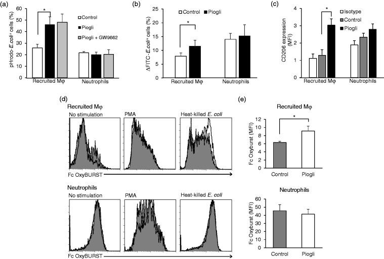Pioglitazone increases phagocytic activity of liver recruited Mφ. (a) Phagocytic activity of liver recruited Mφ and neutrophils in elderly mice for control, pioglitazone-treatment, and GW9662 plus pioglitazone treatment. Liver MNCs were obtained from the control mice, those with pioglitazone treatment and those receiving GW9662 plus pioglitazone treatment, and then cultured with pHrodo® E. coli for 1 h. We determined pHrodo® E. coli -positive recruited Mφ and neutrophils by flow cytometry. (b) Engulfment of FITC- E. coli by liver recruited Mφ and neutrophils in control and pioglitazone-treated elderly mice. The results were determined by subtracting the percentages of positive populations for on ice from those for incubation at 37°C (Supplemental Figure 5). (c) CD206 expression after pioglitazone treatment. Liver MNCs were obtained from elderly mice 3 h after pioglitazone or vehicle treatment, and then incubated at 37°C for 2 h to determine intracellular CD206 expression in the recruited Mφ and neutrophils. Data are shown as MFI, and isotype controls are shown on the left. (d and e) ROS production by liver recruited Mφ and neutrophils. Liver MNCs were harvested from elderly mice 3 h after administering pioglitazone. Non-stimulated (left panels), PMA-stimulated (middle panels), or heat-killed E. coli -stimulated (right panels) MNCs were incubated with Fc OxyBURST® reagent, followed by cell surface staining. Recruited Mφ and neutrophils were analyzed for Fc OxyBURST® staining by flow cytometry. (d) Representative histograms for Fc OxyBURST® staining in recruited Mφ (upper panels) and neutrophils (lower panels). The dotted curves are for control mice, and the solid curves for pioglitazone-treated mice. (e) MFI for Fc OxyBURST® staining in recruited Mφ (upper graph) and neutrophils (lower graph) cultured with heat-killed E. coli . Data are means ± SEM from 4 mice in each group. * P