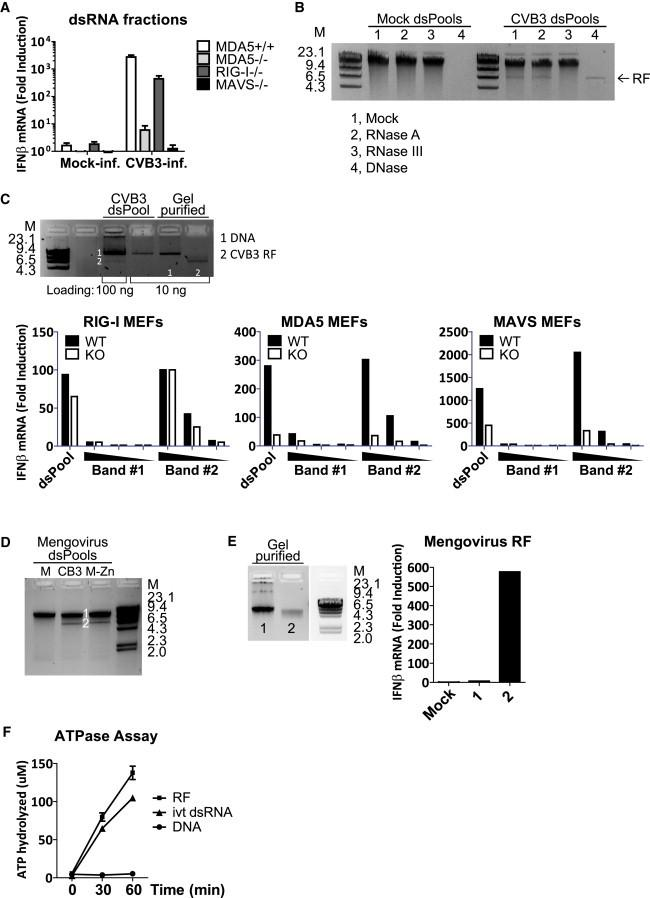 Picornavirus RF Is a Potent MDA5 Agonist (A) dsRNA fractions from mock- or CVB3-infected HeLa cells were transfected-into MEFs of indicated genotypes, and IFN-β mRNA level at 2 hr.p.t. was measured by real-time qPCR. Data presented as mean ± SD. (B) dsRNA fractions (dsPool) of mock- and CVB3-infected cells were treated with 10 ng/μl RNase A, 10 mU RNase III, or 10 mU DNase I at 37°C for 15 min, and analyzed on agarose gel. (C) DNA and RF bands observed in CVB3 dsRNA fraction were gel purified and analyzed on agarose gel. CVB3 dsRNA fraction (10 ng per well in 24-well format), and the gel-purified RNAs (10, 2, or 0.4 ng/well) were transfected into WT, RIG-I −/− , MDA5 −/− , or MAVS −/− MEFs in the presence of CHX (10 μg/ml). IFN-β mRNA induction was determined by real-time qPCR at 8 hr.p.t. (D) dsRNA fractions of mock-, CVB3-, or mengovirus-infected cells were analyzed on agarose gel. (E) DNA and RF bands from mengovirus dsRNA fraction were gel purified and transfected into RIG-I −/− MEFs in the presence of CHX (10 μg/ml). IFN-β response at 8 hr.p.t. was measured by real-time qPCR. (F) Gel-purified RF and DNA bands from CVB3 dsRNA fraction, as well as a in vitro transcribed dsRNA of CVB3 sequence (ivt dsRNA) (0.3 μg/ml), were incubated with recombinant MDA5 (0.3 μM) at 37°C in the presence of 2mM ATP, and free Pi was measured using Green Reagent at 0, 30, and 60 min after reaction was started. M, dsDNA marker with indicated size in kbp. Bands number 1 and 2 on gel corresponds to the samples used in RNA transfection. Data presented as mean ± SD.