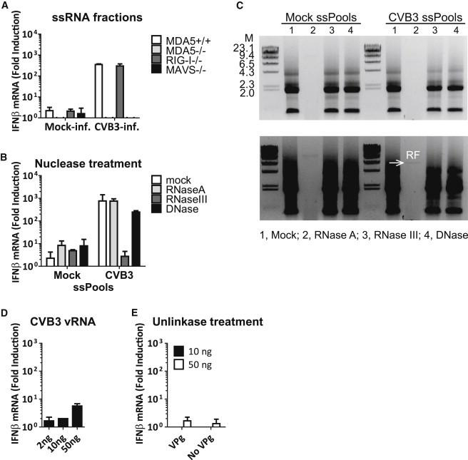 ssRNAs from CVB3-Infected Cells Do Not Activate MDA5 (A) ssRNA fraction from mock- or CVB3-infected HeLa cells were transfected into MEFs of indicated genotypes, and IFN-β mRNA level at 2 hr.p.t. was measured by real-time qPCR. Data presented as mean ± SD. (B) ssRNA fractions (ssPools) of mock- and CVB3-infected cells were treated with 10 ng/μl RNase A, 10 mU RNase III, or 10 mU <t>DNase</t> I at 37°C for 15 min. Resulting RNA samples equivalent to 500 ng starting material were transfected into approximately 200,000 MAVS +/+ MEFs and IFN-β mRNA induction was determined by real-time qPCR at 8 hr.p.t. Data presented as mean ± SD. (C) The same samples as in (B) were analyzed on agarose gel. (D) CVB3 vRNA was isolated from pelleted viral particles. Indicated amounts of vRNA were transfected into RIG-I −/− MEFs in the presence of CHX (10 μg/ml), and IFN-β mRNA induction was determined by real-time qPCR at 8 hr.p.t.. Data presented as mean ± SD. (E) Indicated amounts of mock-treated or unlinkase-treated poliovirus vRNAs were transfected into RIG-I −/− MEFs in the presence of CHX (10 μg/ml). Total RNA was extracted at 8 hr.p.t. and IFN-b mRNA induction was determined by real-time qPCR. Data presented as mean ± SD. See also Figure S3 .
