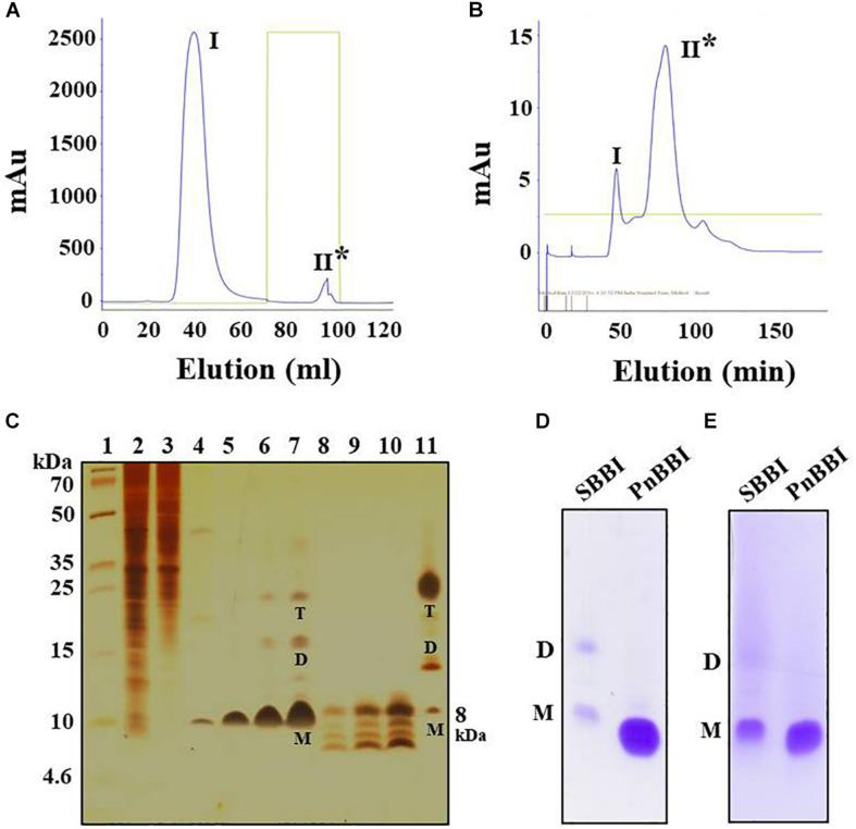 Purification profile of PnBBI and its in-gel activity. Elution profile of (A) trypsin-Sepharose 4B column loaded with 20-60% (NH 4 ) 2 SO 4 active fraction; (B) Sephadex G-50 fine column loaded with active peak II fraction pool of trypsin affinity column; (C) Tricine SDS-PAGE (15%) showing purification profile and self-association pattern of PnBBI: lane 1, molecular weight marker designated in kDa; lane 2, peanut crude protein extract (20 μg); lane 3, 20-60% (NH 4 ) 2 SO 4 protein fraction (15 μg); lane 4, active fraction pool (Peak II) of trypsin affinity column (10 μg); lanes 5-7 and 8-10 active fraction pool (peak II) of gel filtration column under non-reducing and reducing conditions with increased protein concentration (2.5, 5, and 10 μg), respectively; lane 11, soybean BBI (5 μg) was used as a reference. Gelatin SDS-PAGE (15%): Lane 1, soybean BBI (5 μg); lane 2, PnBBI (5 μg) active against (D) bovine pancreatic trypsin and (E) chymotrypsin, respectively. Asterisks indicate active peak with inhibitory activity against trypsin. M-monomer, D-dimer and T-tetramer. The data shown here is the representative of three biological replicates (data provided as Supplementary Data Sheet 3 ).