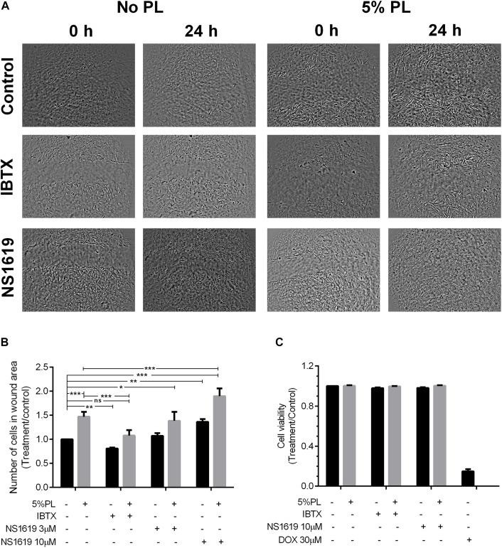 Effect of PL in rMSC migration. (A) rMSCs monolayers after scratching at 0 and 24 h in control cells and after treatment with IBTX (10 nM) or NS1619 in presence and absence of 5% PL. (B) Number of cells counted in wound area after each treatment was divided by number of cells in wound area in control assay. (C) Effect of PL in cell viability after 24 h of treatment with IBTX or NS1619 in the presence and absence of 5% PL. Doxorubicin 30 μM was used as a positive control. Data were normalized to control cells without treatment and shown as mean ± SEM ( n = 5).