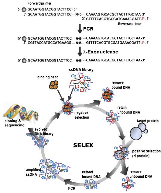A schematic showing the sequence of the ssDNA library used for in vitro selection and the design of the SELEX procedure. A random ssDNA library was obtained by PCR, which contains 45 random sequences, using 5′-FAM TM labeled forward primer and 5′-phosphorylated reverse primer, which was followed by λ-exonuclease digestion. Ball symbol at the 5′ end of the forward primer represents FAM TM . After eliminating non-specific binding to Ni–NTA beads, the ssDNA pool was incubated with the His-tagged N proteins, which were immobilized on Ni–NTA sepharose beads. Unbound DNA was discarded, and bound DNA was eluted by the addition of imidazole. The DNA was enriched after twelve cycles of selection, and the selected DNA was amplified by PCR, cloned and sequenced.