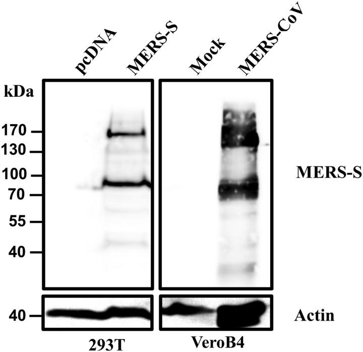 The Middle East respiratory syndrome coronavirus (MERS-CoV) spike protein (MERS-S) is cleaved in transfected and infected cells. 293T cells were transfected with a plasmid encoding the MERS-S protein or with empty plasmid (pcDNA). Vero B4 cells were either infected with MERS-CoV at a multiplicity of infection of 5 or mock infected. Subsequently, the cells were lysed and analyzed by Western blot, using a polyclonal antibody directed against the S2 subunit of MERS-S. A β-actin antibody served as a loading control. Similar results were obtained in 2 separate experiments.