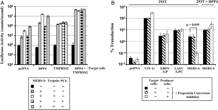 Proprotein convertase activity is dispensable for Middle East respiratory syndrome coronavirus spike protein (MERS-S)–driven cell-cell and virus-cell fusion. A , Fusion of 293T effector cells transfected to express MERS-S with target cells transfected to express DPP4 and/or TMPRSS2 or control transfected with empty plasmid (pcDNA) was assessed. Both effector and target cells were incubated with 1 µM of proprotein convertase inhibitor (PCI) as indicated and, 1 day later, were mixed for cocultivation. The effector/target cell mixtures were incubated with phosphate-buffered saline (PBS) or PCI, and cell-cell fusion was quantified by determination of luciferase activities in cell lysates. The results of a representative experiment performed with triplicate samples are shown. Error bars indicate standard deviation (SD). Two separate experiments yielded similar results. B , Lentiviral pseudotypes carrying MERS-S, Lassa virus glycoprotein (LASV-GPC), Zaire ebolavirus glycoprotein (EBOV-GP), or the glycoprotein of vesicular stomatitis virus (VSV-G), as well as pseudotypes bearing no viral glycoprotein (pcDNA), were generated in the presence or absence of PCI (1 µM). Subsequently, target 293T cells transfected with empty plasmid or DPP4 expression plasmid were preincubated with dimethyl sulfoxide (DMSO), PBS, or PCI at a final concentration of 0.5 µM for 30–60 minutes, followed by transduction with the pseudotypes specified above. At 72 hours after transduction, luciferase activities in cell lysates were measured. The average of 5–7 independent experiments performed with triplicate samples is shown. Transduction with pseudotypes bearing VSV-G in the absence of inhibitor was set as 100%. Error bars indicate standard error of the mean (SEM). A 2-tailed Student t test was used to assess statistical significance.