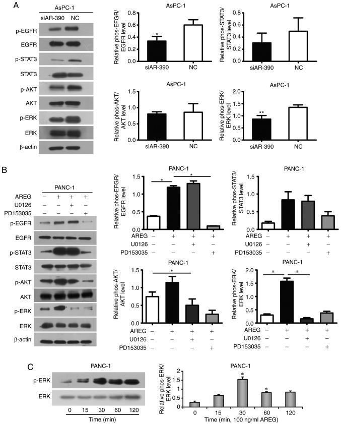 AREG activates the EGFR/ERK signalling pathway in pancreatic cancer cells. (A) Phosphorylation and total protein expression levels of EGFR, STAT3, AKT, and ERK in AsPC-1 cells transfected with AREG siRNA (siAR-390) or control siRNA (NC). (B) In PANC-1 cells, the exogenous treatment of AREG induced EGFR signalling as revealed by the varying degrees of activation of the p-ERK, p-AKT and p-STAT3 levels. The enhancement effect was blocked by PD153035 (an inhibitor of EGF receptor tyrosine kinase, 5 µM) or U0126 (an inhibitor of MEK1/2, 20 µM). (C) Activation of ERK in response to AREG in PANC-1 cells. AREG stimulation resulted in a significant induction of p-ERK, which stabilized at 30 min. Graphs are presented as the relative density of the phosphoprotein vs. the total protein. *P