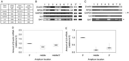 Integrity measurement of salivary RNA. ( A ), list of 5 NSCT genes, their cDNA length, and expected sizes of PCR amplicons shown in panels B and C . The 3 ′ and 5 ′ in parentheses indicate the location of amplicons on the gene. The m/3 ′ in parentheses for β-actin indicates that the amplification region is located between the middle and the 3′ end of the β-actin mRNA. ( B ), RT-PCR of salivary RNA with primers that yield short PCR amplicons. For RNA isolation, 560 μL of the supernatant phase of saliva was used. PCR was done for 40 cycles. Lanes 1–8 represent salivary RNA from 8 different participants. Lane 3 * contains 5-fold more RNA starting material than lane 3 , and PCR was done for 45 cycles instead of 40 cycles. Lane (–) represents a negative control, for which an equal volume of water was used during the PCR instead of the reverse transcription products. ( C ), salivary RNA from the same participants as in panel B was used for RT-PCR (45 cycles) that yielded long PCR amplicons. The inset indicated by (+) next to the GAPDH gel image shows the result of the positive control, in which RT-PCR was performed with RNA isolated from the MCF7 cell line. SAT product for participant 8 ( lane 8 ) gave triplicate bands, none of which matched the expected PCR size (∗). ( D and E ), RT-qPCR of salivary RNA from 8 participants with β-actin ( D ) and IL8 ( E ) primers that target different regions of β-actin and IL8 mRNAs as indicated. Thick horizontal lines indicate the medians. The boxes represent the interval between the 25th and 75th percentiles. Maximum and minimum values are indicated by the vertical lines .