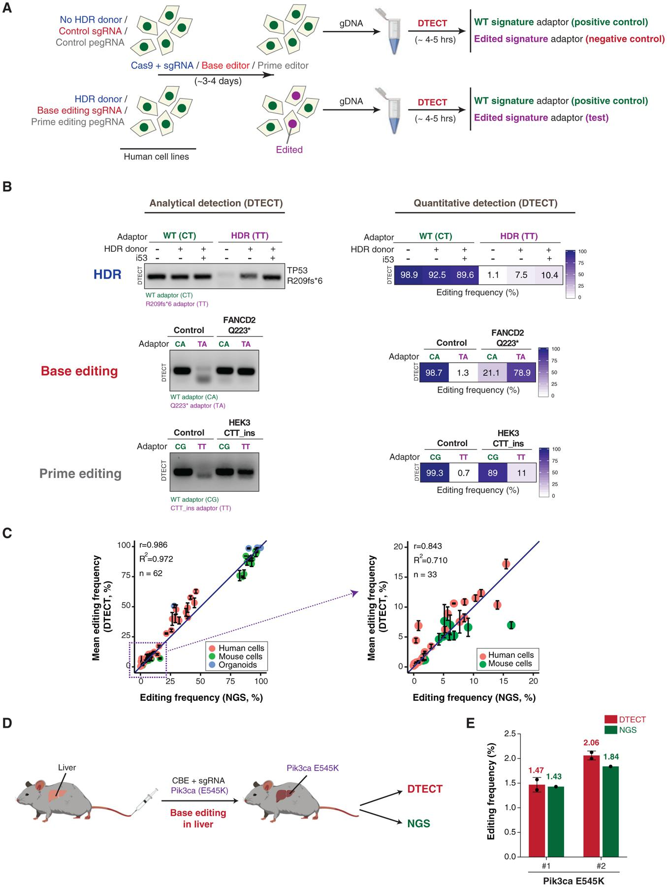 Detection and Quantification of Precision Genome Editing by CRISPR-Mediated HDR, Base Editing, and Prime Editing Using DTECT (A) Schematics of the protocol used to identify genomic changes introduced by CRISPR-dependent HDR, base editing, or prime editing. In HDR experiments (blue), HEK293T cells were transfected with <t>Cas9</t> and an sgRNA targeting a gene of interest with or without donor DNA molecules. In base editing experiments (red), HEK293T cells were transfected with BE3 base editors with either control or base editing sgRNAs. Base editing experiments were also conducted in cells stably expressing FNLS-BE3. In prime editing experiments (gray), HEK293T cells were transfected with PE2 with or without pegRNA. gDNA was then extracted from cell populations and subjected to DTECT using adaptors specific for WT (green) or edited (purple) variants. (B) Identification by DTECT of WT and HDR-edited (R209fs*6) TP53 alleles (top), WT and base-edited (Q223*) FANCD2 alleles (middle), and WT and prime-edited (CTT_ins) HEK3 alleles (bottom). Adaptors specific for the WT (CT, CA, and CG; green) or edited (TT and TA; purple) signatures were used in DTECT experiments. Captured samples were subjected to analytical PCR (left, 21 cycles) or qPCR (right). In the HDR experiment, cells were transfected with Cas9, sgRNA, and an ssODN specific for the TP53 locus with or without the HDR stimulatory factor i53. The ssODN was omitted in control reactions. In the base editing experiment, cells were transfected with BE3 and an sgRNA to induce Q223* in FANCD2. In prime editing experiments, cells were transfected with PE2 and pegRNA to introduce a CTT insertion in the HEK3 locus. (C) Graphical representation of the correlation of DTECT- and NGS-based estimations of the frequency of genetic variants introduced by precision genome editing in human and mouse cells and mouse intestinal organoids (n = 62). Data points in the dashed box (frequency
