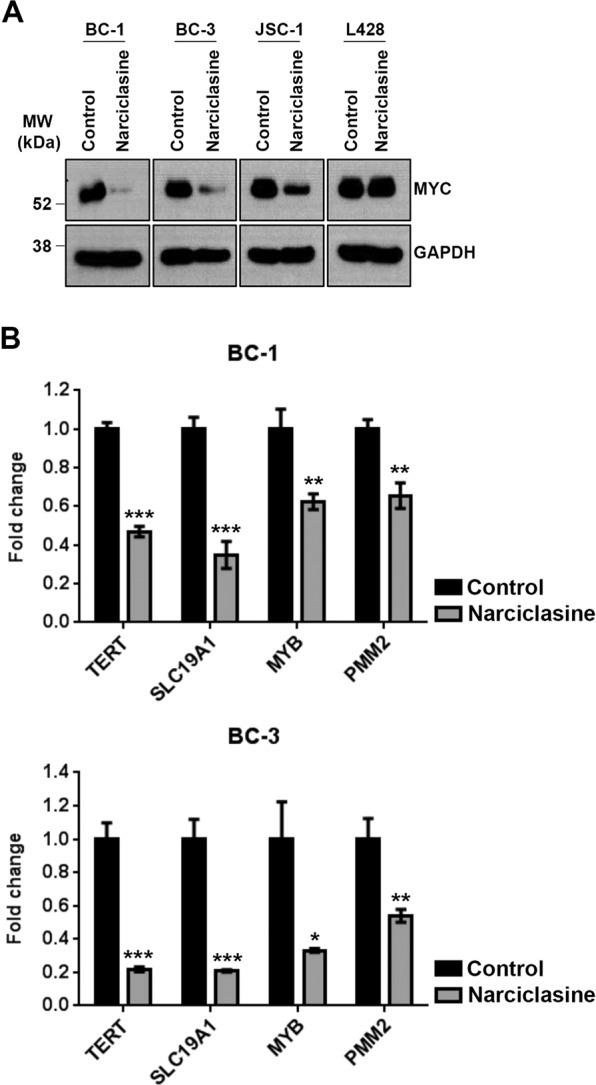 Narciclasine downregulates MYC. ( A) BC-1, BC-3, JSC-1 and L428 cell lines were treated with narciclasine (25 nM for 48 hours) or DMSO control, followed by western blotting of whole cell lysates for MYC and GAPDH (loading control). Samples were derived from the same experiments, loading controls were from the same blot and the blots were processed in parallel. Original raw blots are presented in Supplementary Fig. S5 . Blots are representative of at least 3 independent experiments. ( B) BC-1 and BC-3 cell lines were treated with narciclasine (50 nM for 24 hours) or DMSO control followed by qRT-PCR analysis of TERT, SLC19A1, MYB and PMM2 mRNA (direct target genes of MYC protein). Real-time PCR reactions were carried out in triplicate and the data were presented as fold change in target gene expression (mean ± SE) from a representative of 2 independent experiments. Statistically significant differences were shown by asterisks (*) at a level of p ≤ 0.05, (**) at a level of p ≤ 0.01, and (***) at a level of p ≤ 0.001.