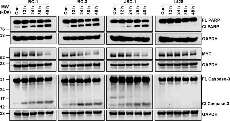 MYC is not a primary target of narciclasine. BC-1, BC-3, JSC-1 and L428 cell lines were treated with narciclasine (25 nM for 12, 24, 36 and 48 hours) or DMSO control, followed by western blotting of whole cell lysates for PARP, MYC, Caspase-3 and GAPDH (loading control). Cl – Cleaved; FL – Full Length. Samples were derived from the same experiments, loading controls were from the same blot and the blots were processed in parallel. Original raw blots are presented in Supplementary Figs. S6 – S8 .