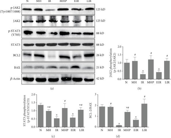 Mild hypothermia maintains the activation of the JAK2/STAT3 pathway after hepatic IR injury. (a) Representative blots of JAK2, STAT3, and important markers of apoptosis. (b) The phosphorylation levels of JAK2 at Tyr1007/1008. (c) The phosphorylation levels of STAT3 at Tyr705. (d) The ratio of BCL-2/BAX.