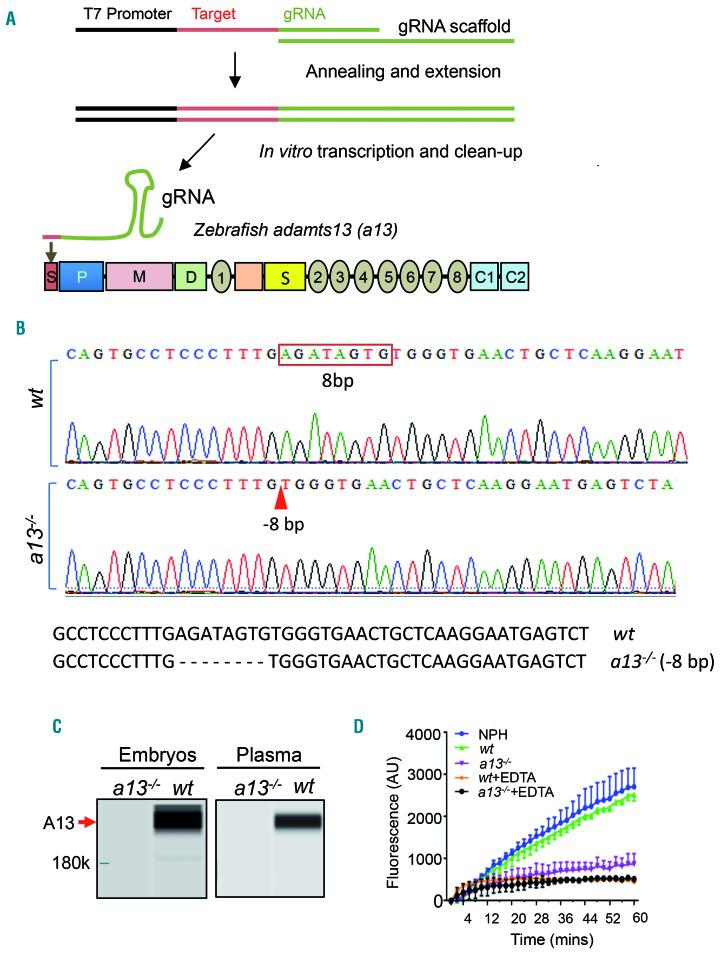 Generation and characterization of a13 −/− zebrafish using CRISPR/Cas9. (A) An oligonucleotide consisting of a <t>T7</t> promoter, a gene-specific target sequence (targeting the signal peptide coding region of zebrafish a13 ), and a guide RNA (gRNA) scaffold sequence was annealed and extended with the gRNA core sequence and then transcribed into a gRNA. (B) Sanger sequencing identified the wt (top) and 8-bp deletion (boxed) in a13 −/− F2 progeny zebrafish (bottom, arrowhead). (C) Western blot by a capillary-based WES system demonstrates the absence ( a13 −/− ) and the presence ( wt ) of a13 protein (~220 kDa) in the lysate of zebrafish embryos (5 days post-fertilization) and in the plasma of 3-month old zebrafish, respectively. (D) A FRETS-VWF73 assay showed normal cleaving activity in the wt adult zebrafish plasma but not the a13 −/− . Such proteolytic activity was abrogated by the addition of 10 mmol/L EDTA. Pooled normal human plasma (NHP) was used as a positive control. Data represent the means ± standard error of mean from three independent experiments.