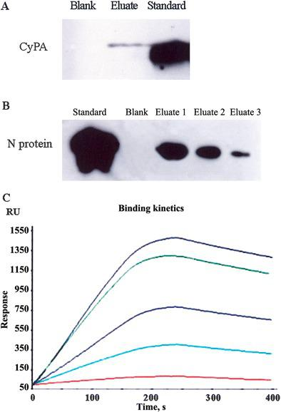 Analysis of protein-protein interaction. A Coimmunoprecipitation (Co-IP) analysis–revealed interaction between HAb18G/CD147 and cyclophilin A (CyPA). Blank, blank control; eluate, coimmunoprecipitated CyPA in the eluate; standard, 2.5 μg of purchased CyPA. B Co-IP analysis–revealed interaction between CyPA and severe acute respiratory syndrome coronavirus (SARS-CoV) nucleocapsid (N) protein. Blank, blank control; eluate 1, 2, and 3, coimmunoprecipitated N protein in orderly eluting; standard, 5 μg of N protein expressed in Escherichia coli. C Binding kinetics of SARS-CoV N protein to CyPA, determined by surface plasmon resonance analysis. N protein, at different concentrations, could bind to CyPA. The lines with different colors are the binding kinetics curves of N protein to CyPA, at different concentrations: 40, 32, 24, 16, and 8 nmol/L. RU, resonance unit