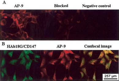 Confocal microscopic analysis of <t>HAb18G/CD147</t> and antagonistic peptide (AP)–9. A Severe acute respiratory syndrome coronavirus (SARS-CoV)–infected 293 cells stained with biotin–AP-9 and avidin-Cy3 (red) . The result showed that AP-9 was bound to the detected cells. The binding of AP-9 to the detected cells was partially blocked by HAb18G/CD147. B Immunofluorescence double-labeling method in SARS-CoV–infected 293 cells. Two kinds of fluorescence that indicated HAb18G/CD147 (green) and AP-9 (red) simultaneously presented in the cells, as observed by confocal imaging