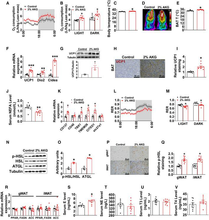 AKG increases fat thermogenesis and lipolysis Oxygen consumption in male C57BL/6 mice after 11 weeks of AKG supplementation ( n = 8 per group). Body temperature of male mice after 11 weeks of AKG supplementation ( n = 9 per group). Representative images (D) and quantification (E) of BAT thermogenesis induced by 6‐h cold exposure at 4°C in male mice supplemented with AKG for 11 weeks ( n = 9 per group). The mRNA expression of thermogenic genes (F) and immunoblots and quantification (G) of UCP1 protein in BAT of male mice after 11 weeks of AKG supplementation ( n = 3–6 per group). DAB staining (H) and quantification (I) of UCP1 in BAT of male mice supplemented with AKG for 11 weeks ( n = 9 per group). Serum levels of NEFA in male mice supplemented with AKG for 11 weeks ( n = 9 per group). The mRNA expression of CD137, CD40, TBX1, TMEM26, CITED1, and slc27a1 in iWAT of male mice supplemented with AKG for 11 weeks ( n = 8 per group). Respiratory exchange ratio (RER) in male C57BL/6 mice after 11 weeks of AKG supplementation ( n = 8 per group). Immunoblots (N) and quantification (O) of p‐HSL and ATGL protein in gWAT of male mice after 11 weeks of AKG supplementation ( n = 3 per group). Representative images (P) and quantification (Q) of p‐HSL DAB staining in gWAT and iWAT of male mice after 11 weeks of AKG supplementation ( n = 9 per group). The mRNA expression of PPARγ, FASN, and ACC in the gWAT and iWAT from male mice supplemented with AKG for 11 weeks ( n = 6 per group). Serum levels of E (S), NE (T), T3 (U), and T4 (V) in male mice supplemented with AKG for 11 weeks ( n = 8–9 per group). Data information: Results are presented as mean ± SEM. In (B, C, E–G, I–K, M, O and Q–V), * P ≤ 0.05, ** P ≤ 0.01, and *** P ≤ 0.001 by non‐paired Student's t ‐test.