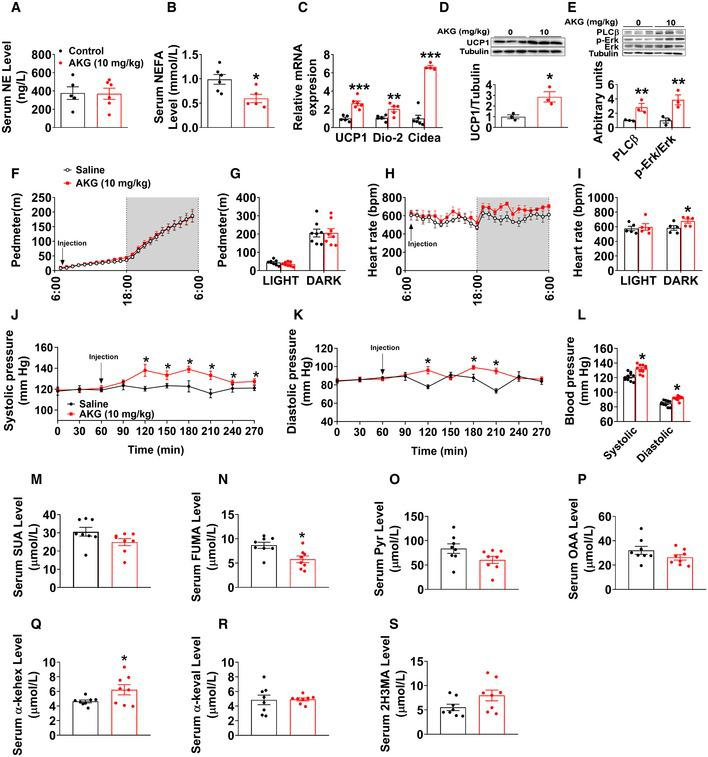 Acute in vivo effects of AKG Serum levels of NE (A) and NEFA (B) in male C57BL/6 mice (10 weeks old) 3 h after i.p. injection of saline or AKG (10 mg/kg) ( n = 5–6 per group). The mRNA expression of thermogenic genes in male C57BL/6 mice (10 weeks old) 3 h after i.p. injection of saline or AKG (10 mg/kg) ( n = 5–6 per group). Immunoblots and quantification of UCP1 in BAT of male C57BL/6 mice (10 weeks old) 3 h after i.p. injection of saline or AKG (10 mg/kg) ( n = 3 per group). Immunoblots and quantification of PLCβ and p‐Erk in the adrenal glands of male C57BL/6 mice (10 weeks old) 3 h after i.p. injection of saline or AKG (10 mg/kg) ( n = 3 per group). Physical activity (pedometer; F, G) and heart rate (H, I) of male mice i.p. injected with 10 mg/kg AKG or saline at 7:00 am ( n = 8 per group). Blood pressure of male mice i.p. injected with 10 mg/kg AKG or saline ( n = 8 per group). Serum levels of succinate (SUC) (M), fumaric acid (FUMA) (N), pyruvic acid (Pyr) (O), oxaloacetic acid (OAA) (P), α‐ketoleucine (α‐kehex) (Q), alpha‐ketoisovaleric acid (α‐keval) (R), and 2‐hydroxy‐3‐methylbutyric acid (2H3MA) (S) in male C57BL/6 mice (10 weeks old) 3 h after i.p. injection of saline or AKG (10 mg/kg) ( n = 8 per group). Data information: Results are presented as mean ± SEM. In (A–E, G, I, L, N and Q), * P ≤ 0.05, ** P ≤ 0.01, and *** P ≤ 0.01 by non‐paired Student's t ‐test. In (F, H, J and K), * P ≤ 0.05 by two‐way ANOVA followed by post hoc Bonferroni tests.